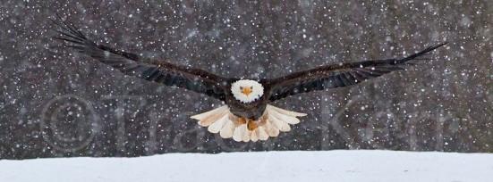 Eagle Pano